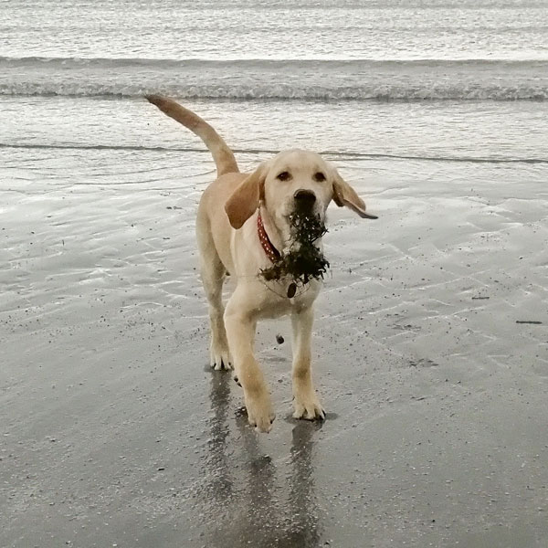 Hank - Guide Dog for the Blind, on the beach