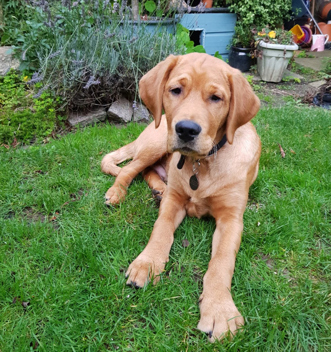 Guide Dogs Puppy - Hank