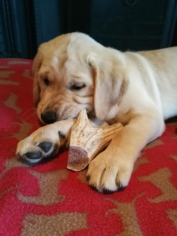 Champ - Guide Dog