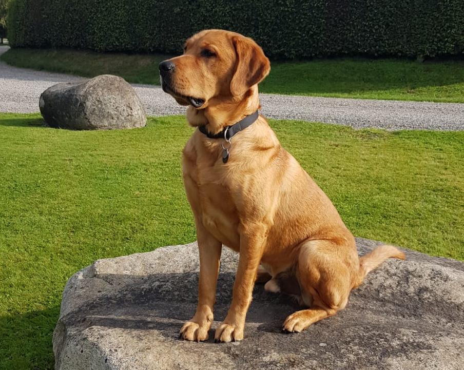 Hank - Guide Dog for the Blind October 2019 - standing on a boulder