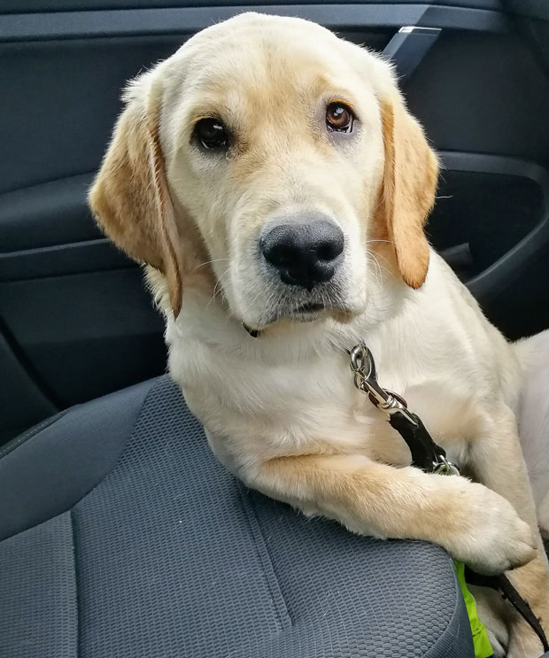Champ, our sponsored Guide Dog