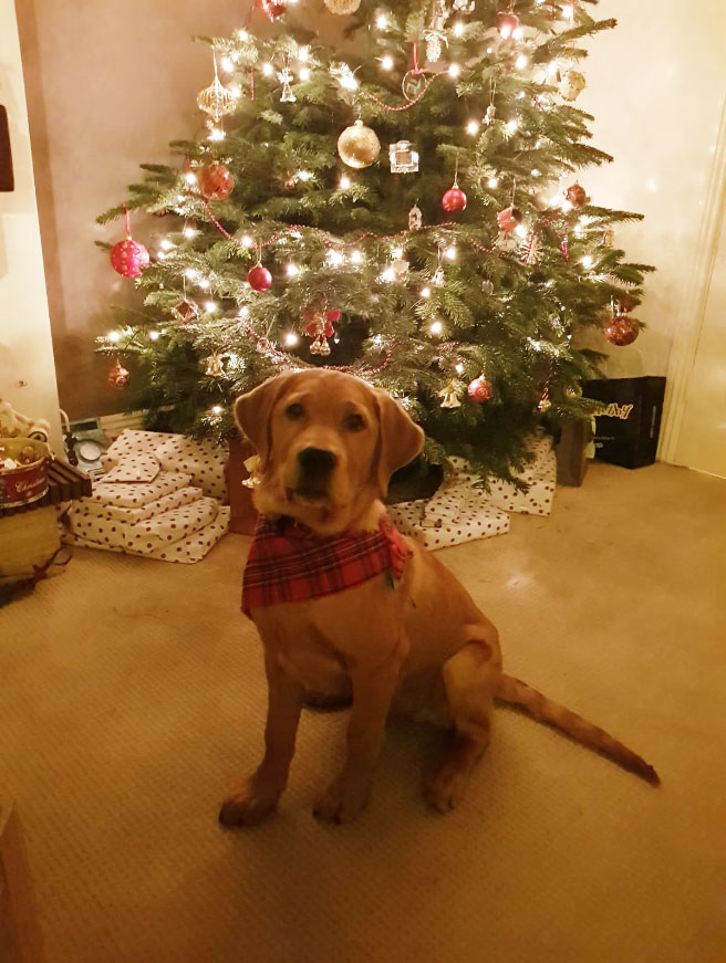 Hank - Guide Dog for the Blind, at Christmas time