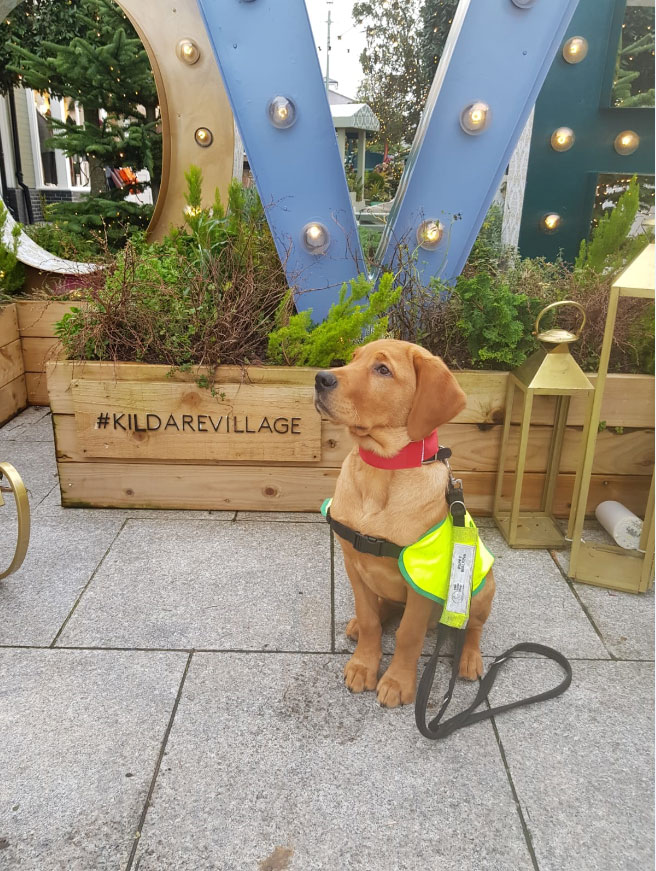 Hank - Guide Dog for the Blind, at Kildare Village