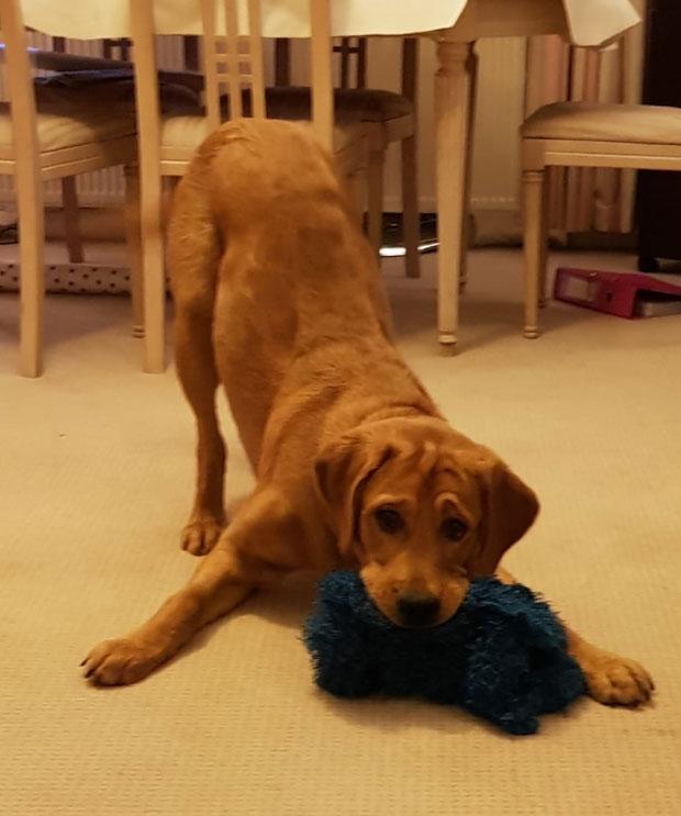 Hank - Guide Dog for the Blind April 2019