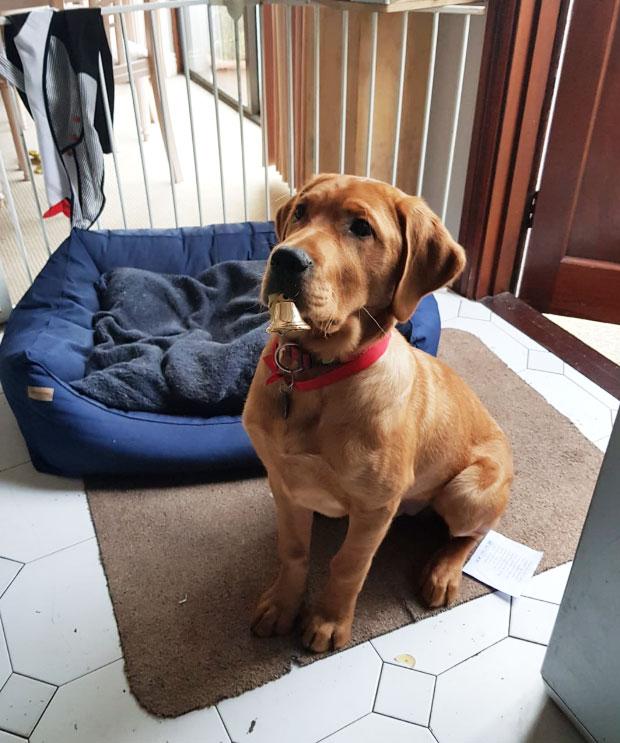 Hank - Guide Dog for the Blind