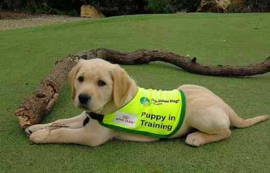 Champ - Guide Dog