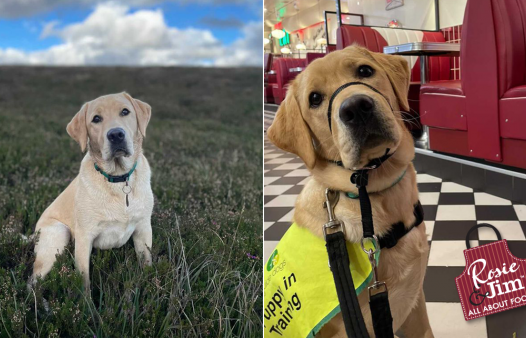 Irish Guide Dogs for the Blind - dog: April