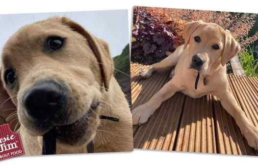 Guide Dogs for the Blind - puppies: April