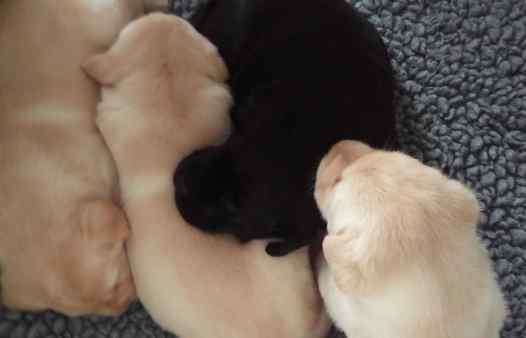 guide_dogs_puppies