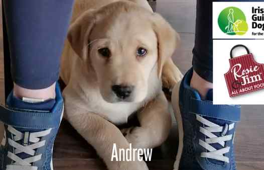 Guide Dogs for the Blind - puppies: Andrew